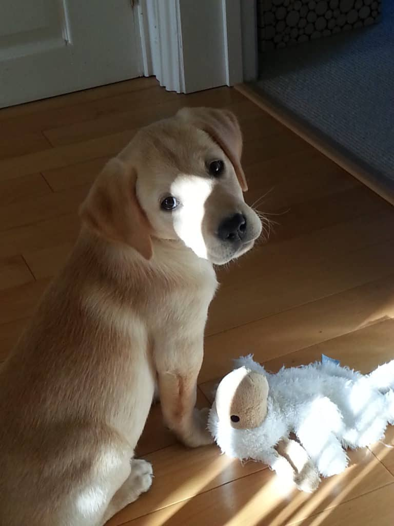 Harvey - puppy - stuffed toy in trouble?