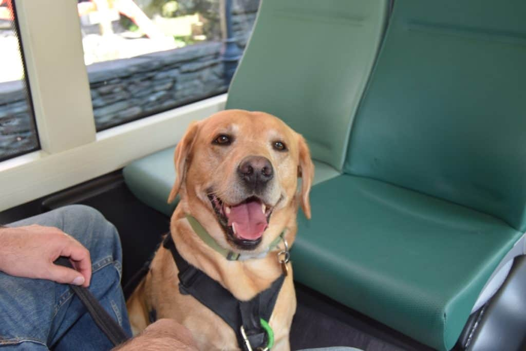 Puppy socialisation plan - Harvey the Labrador on a bus