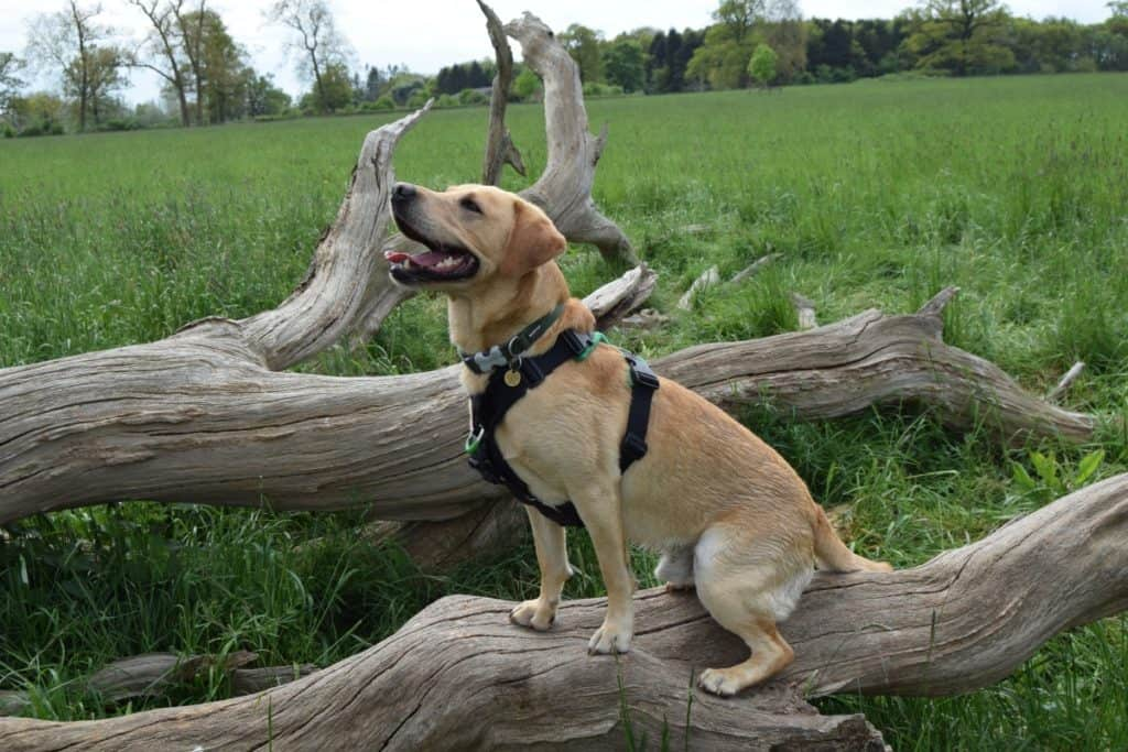 Puppy socialisation plan - Harvey the Labrador sitting on a fallen tree