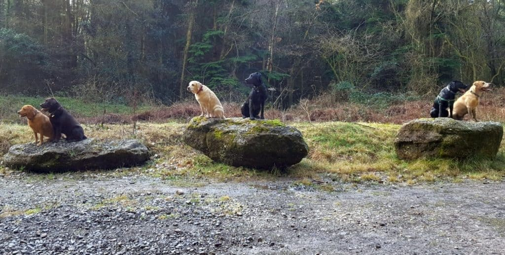 Puppy socialisation plan - group of 6 Labradors sitting on rocks together
