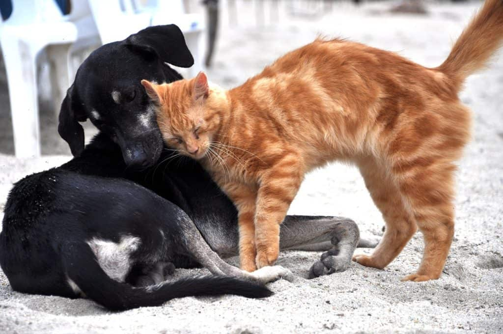Puppy socialisation plan - ginger cat rubbing its head against a relaxed black dog
