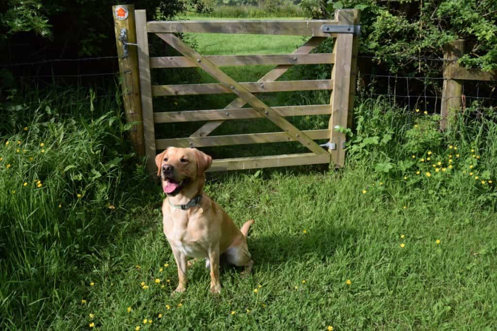 Puppy socialisation plan - Harvey the Labrador near a gate