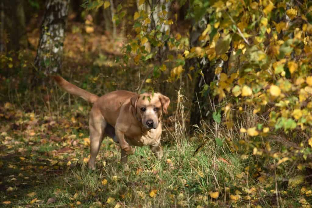 Puppy socialisation plan - Harvey the Labrador in the woods