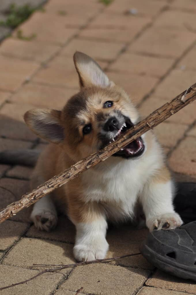 Puppy biting nightmare - puppy biting large stick