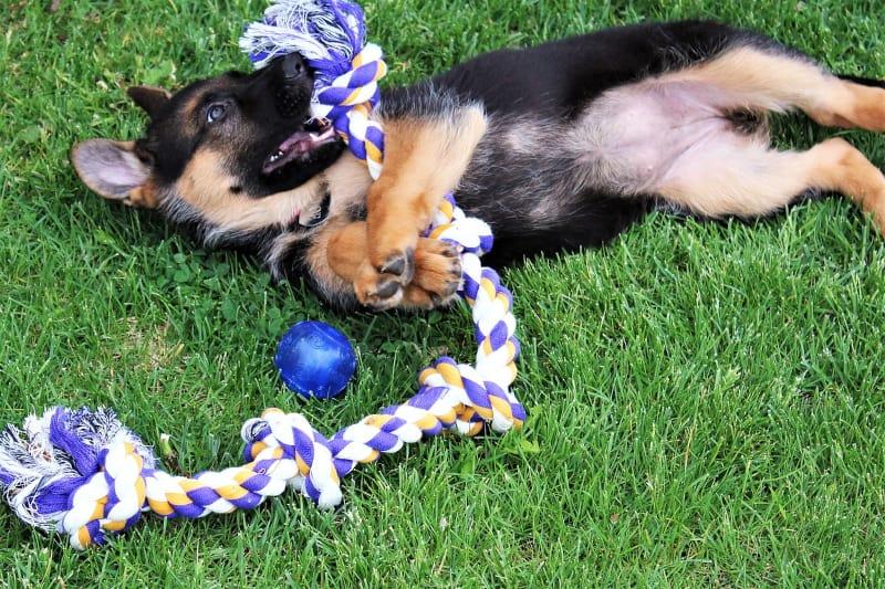 Puppy biting nightmare - puppy biting rope toy