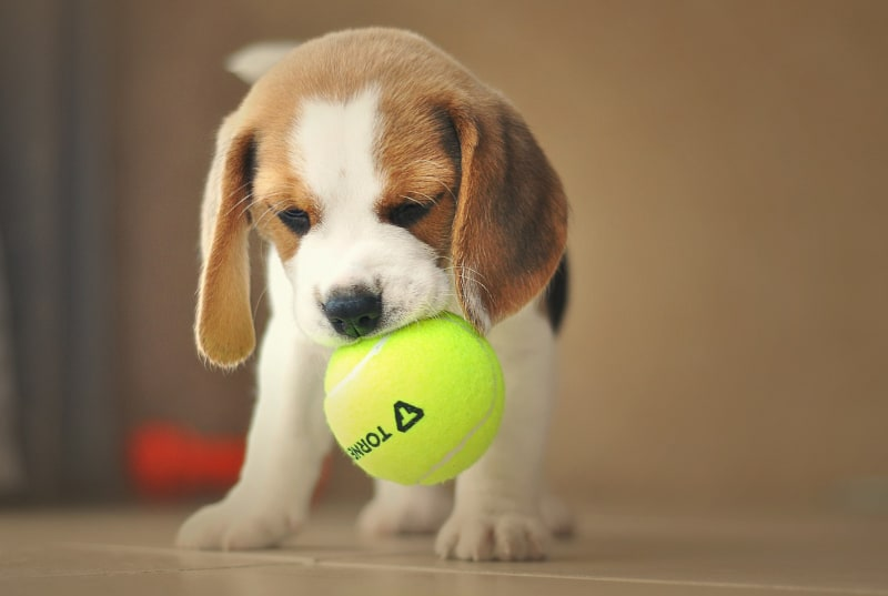 Puppy biting nightmare - puppy biting tennis ball