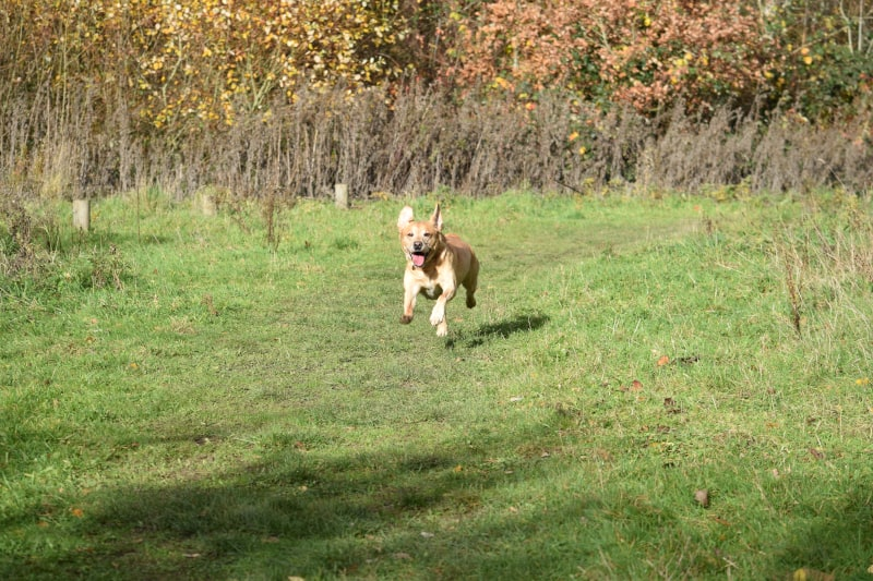 Rock-steady Recall for Dogs - Harv the Lab - keen recall - landscape