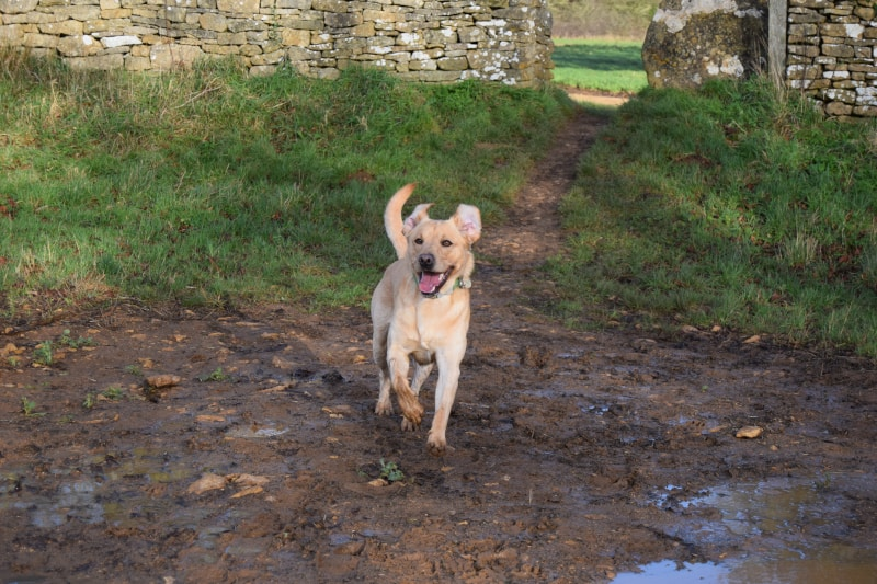 Rock-steady Recall for Dogs - Harv the Lab - keen recall - mud