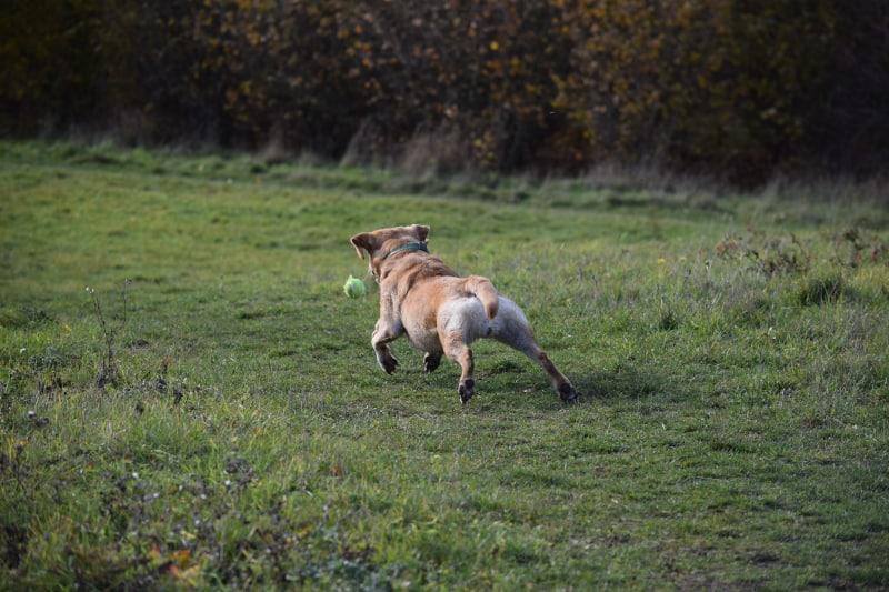 Rock-steady Recall for Dogs - training rewards - tennis ball