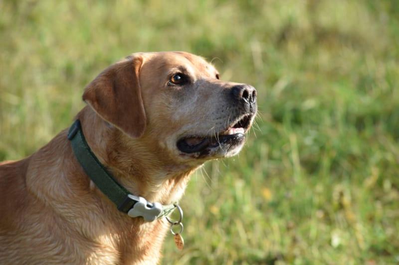 blogger recognition award - incredulous Harvey the Labrador