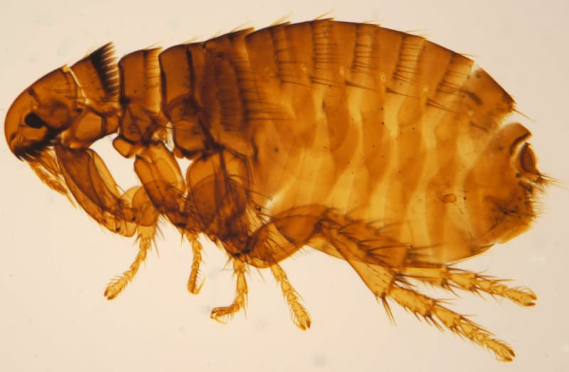 Flea and Tick Prevention for Dogs - dog flea