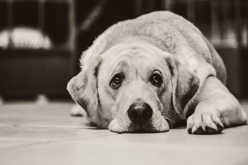 Canine arthritis bible - b&w dog - featured-img