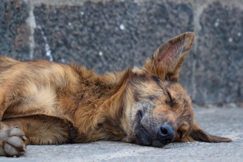 Flea and Tick Prevention for Dogs - street dog - featured-img