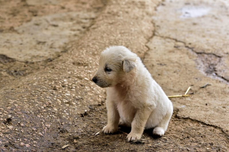House training a puppy - sat puppy - featured-img