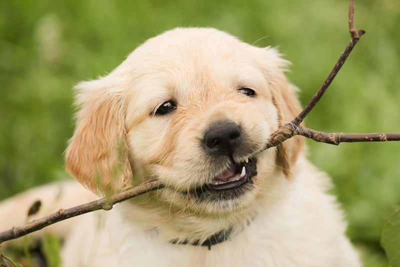 Puppy biting nightmare - puppy biting twig - featured-img