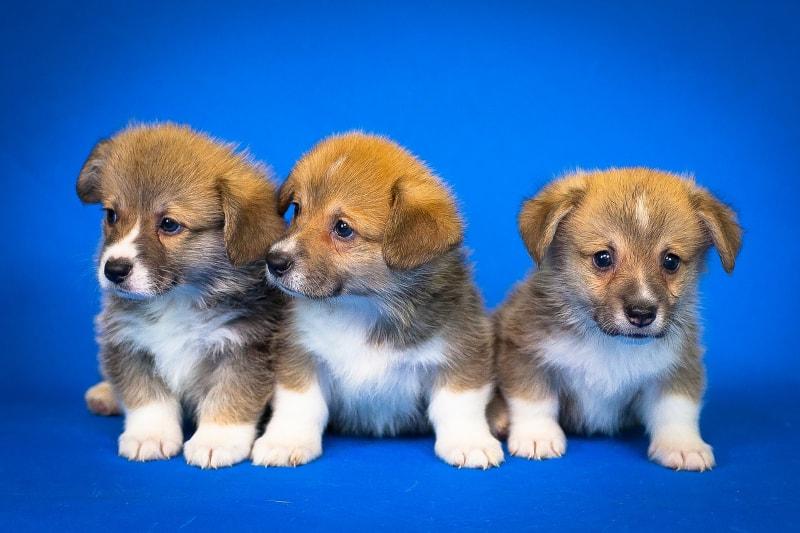 Puppy socialisation plan - corgis x3 - featured-img
