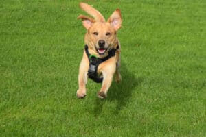 Rock-steady Recall for Dogs - Harv in flight - featured-img