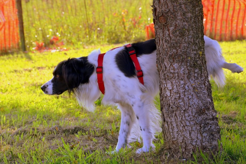 Audible Marking in Dogs - dog pees on tree