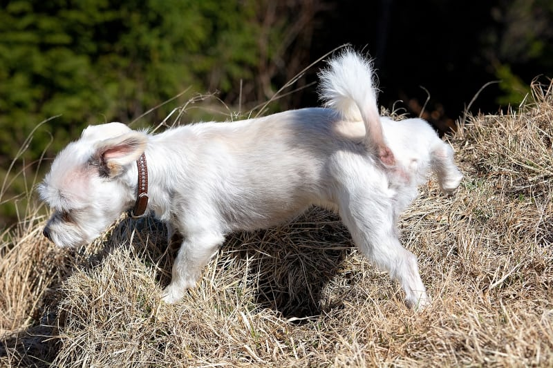 Audible Marking in Dogs - little white dog pees