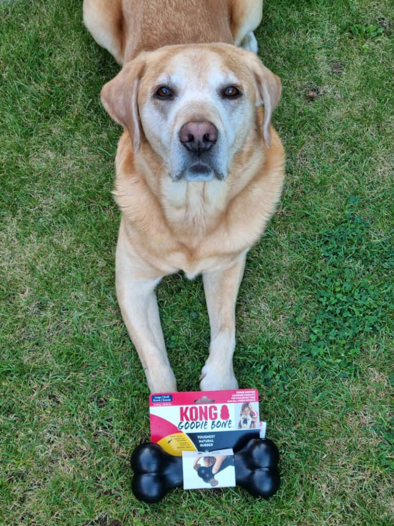Best Christmas Presents for Dogs - harvey with new kong goodie bone