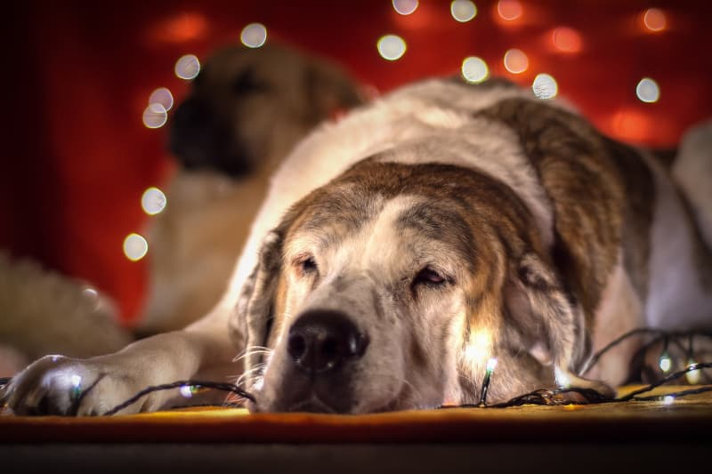 Best Christmas Presents for Dogs - sleepy dog with christmas lights