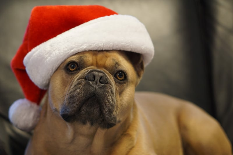 Best Christmas Presents for Dogs - small dog with christmas hat